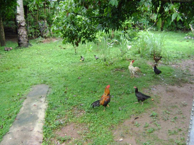 ไก่ สวน ต้นไม้